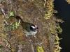 501-black-cheeked-warbler