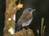504-black-billed-nightingale-thrush