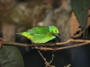 506-golden-browed-chlorophonia