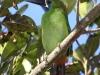 513-emerald-toucanet