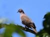 519-ruddy-pigeon