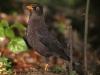 531-sooty-robin