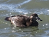 White-winged-scoter-female2