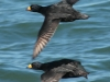 black-scoters-flying
