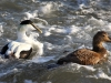 common-eider-couple