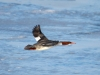 common-merganser-flight