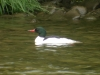 common-merganser-male
