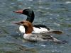 common-mergansers2