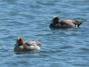 eurasian-and-american-wigeons