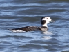 long-tailed-duck-female