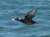 surf-scoter-flying