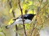 black-throated-blue-warbler2