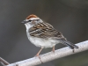 chipping-sparrow3