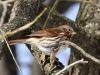 fox-sparrow