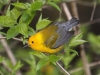 prothonotary-warbler3