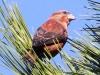 red-crossbill2