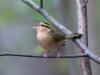 worm-eating-warbler-singing