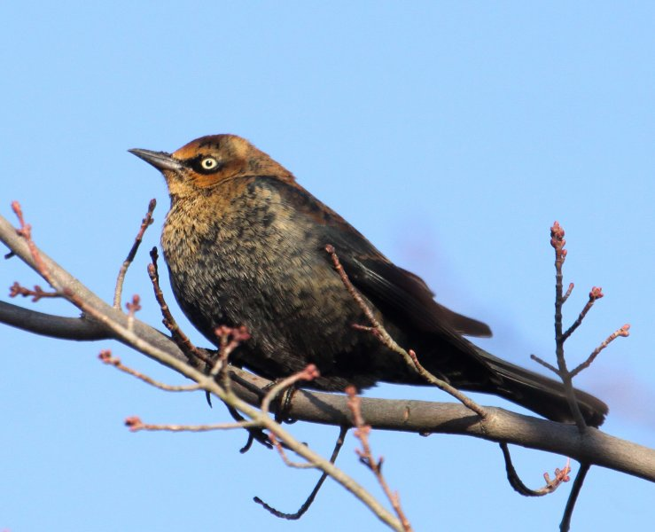 Rusty Blackbird  Introduction  Birds of North America Online