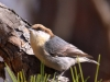 brown-headed-nuthatch5