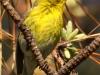 pine-warbler2