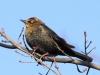 rusty-blackbird-winter