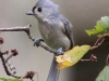 tufted-titmouse3