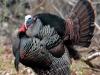 wild-turkey2