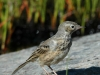 american-pipit2