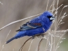 blue-grosbeak2
