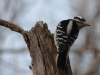 downy-woodpecker1