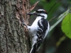hairy-woodpecker4