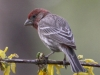 house-finch3