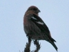 white-winged-crossbill
