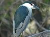 black-crowned-night-heron2