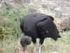 black-vulture-feeding