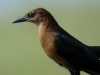 boat-tailed-grackle-female
