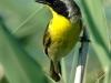 common-yellowthroat2