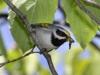 golden-winged-warbler2