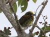 Gilded barbet female