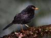 Glossy-black thrush2