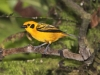 Golden tanager3