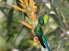 Long-tailed sylph2