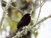 Silver-beaked tanager2