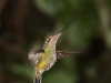 Sword-billed hummingbird2