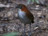 White-bellied antpitta4