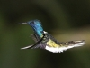 White-necked jacobin3