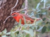 Hepatic Tanager2