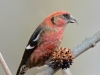 White-winged Crossbill2