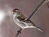 common-redpoll3