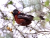 crimson-collared-grosbeak